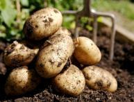 Сорт картофеля Венета