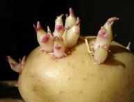 Побеги картофеля