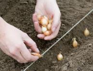 схема посадки лука