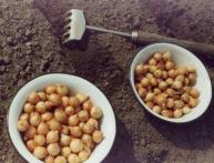 Выращивание лука и репки, и пера