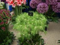 Как выращивать декоративный лук