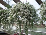 Выращивание бакопы – букет невесты на подоконнике