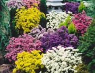 Выращивание агератума из семян – создаем красоту своими руками