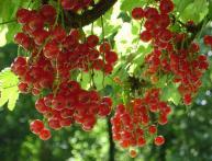 борьба с вредителями смородины