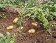 Как хранить картофель