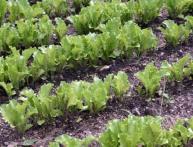 как садить салат