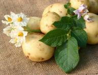где купить картофель на посадку