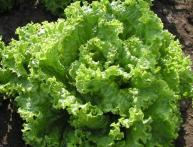 листовой салат, кочанный салат