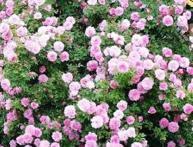 розы Джон Дэвис