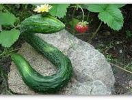 китайский змей огурцы