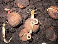 Грецкий орех - посадка семенами