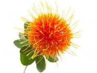 применение растения сафлоры
