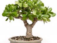 крассула или денежное дерево