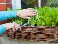 салат на подоконнике, выращивание из семян
