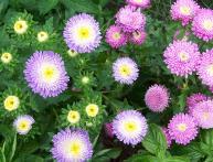 цветы астры, посадка и уход