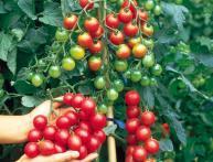 эпин повышает урожайность томатов и других овощей