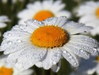 ромашка полевая описание растения