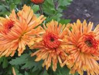 выращивание хризентемы из семян