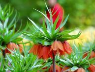 цветы рябчики