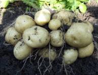 tip ploda kartofelya
