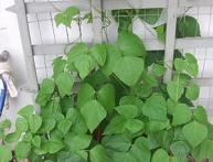 выращивание огурцов дома