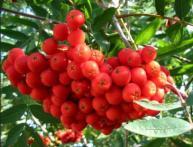Полезные свойства красной рябины