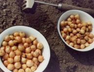 Подготовка лука севка к посадке. Советы начинающим