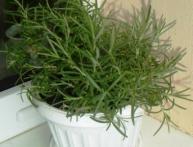 выращивание розмарина из семян