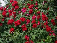 Роза плетистая дома
