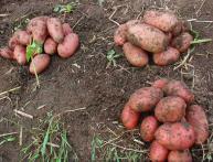 Картофель семенной Розара
