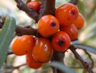 Sea ​​buckthorn