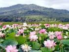 цветение лотосов