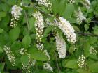 цветение черемухи виргинской