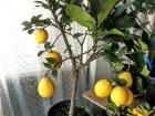 вредители лимона