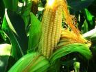 гербициды для кукурузы