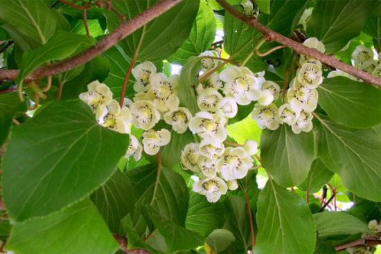 Цветы актинидии