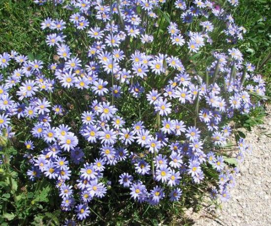Цветок фелиция