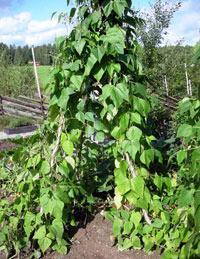 выращивание фасоли