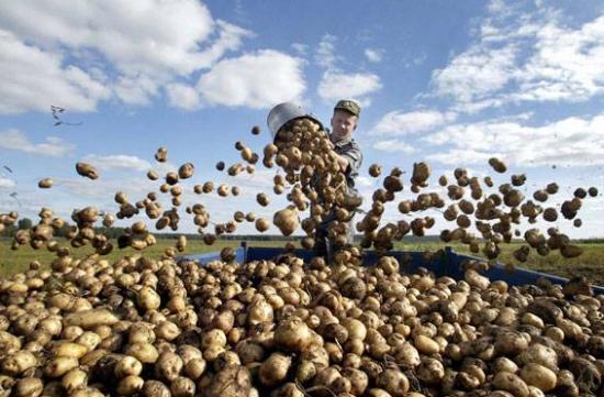 Растет картошка в огороде – значит, не быть семье голодной