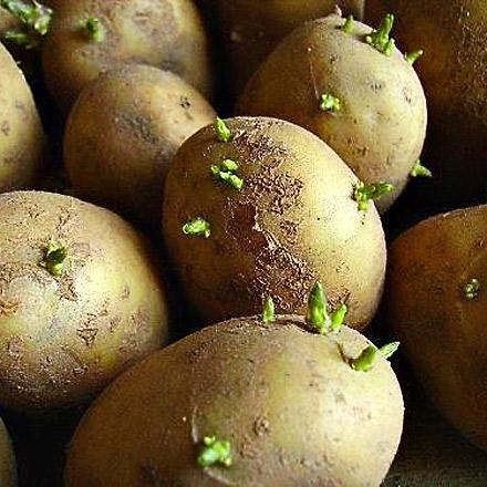 Как правильно делать проращивание картофеля