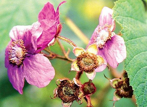 Малина душистая – ягода кислая, ароматный цветок