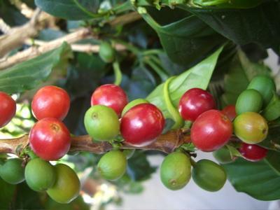Уход за растением кофе