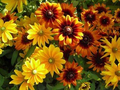 Рудбекия – выращивание и уход