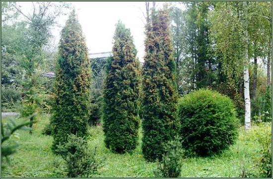 как вырастить тую из семян