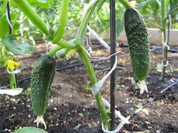 Семь советов как правильно посадить огурцы