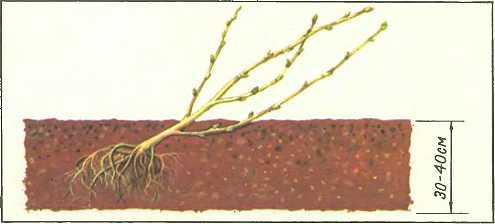 Как посадить смородину пошаговая инструкция