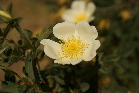 Когда цветет шиповник стоит знать каждому!