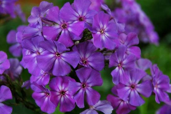 Флокс Тиара и другие сорта цветов. Уход за ними