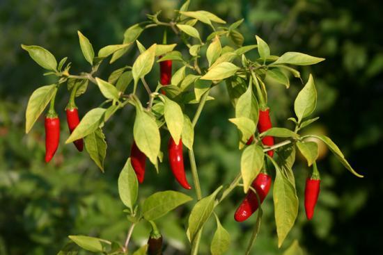Выращивание перца чили. Что нужно знать обязательно?