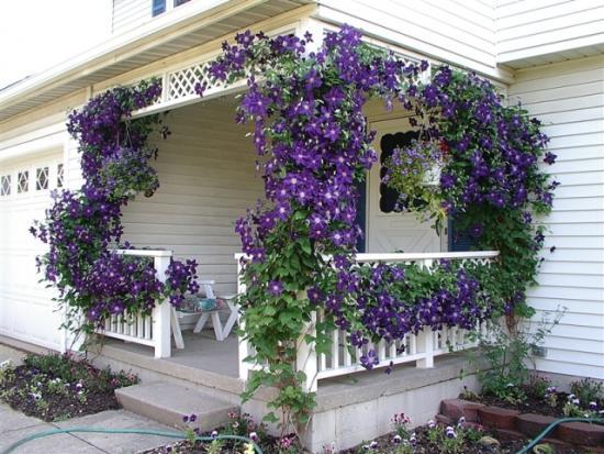 Выращиваем украшение сада - клематис
